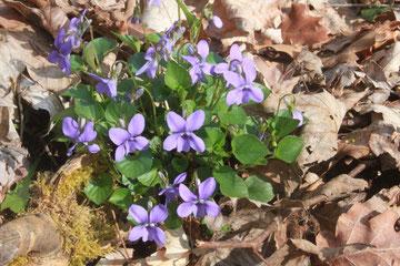 Wald-Veilchen (Viola reichenbachiana) 30.03.14