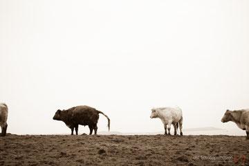 Kühe in Irland