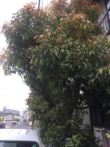 高松市Y町にてクスノキ剪定
