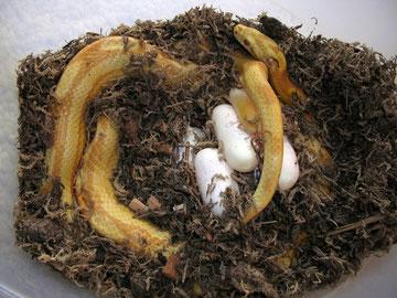 Kornnatter mit Gelege