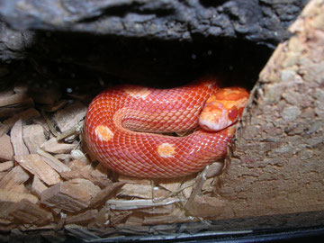 Alea = Kornnatter Sunglow circleback (motley-x-striped)