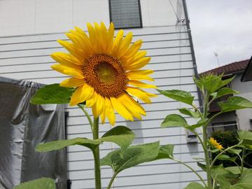 咲いた向日葵