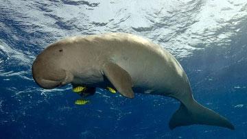 Dudongo (Dugong dugon)