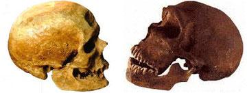Crânes de Cromagnon et de Néanderthal