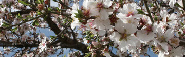 Almond blossoms in Sardinia