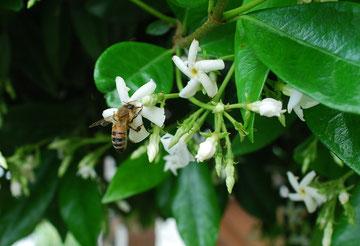 Jasminblüte mit Biene