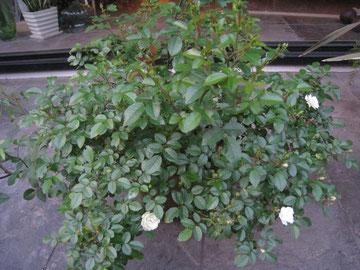 このバラ、去年より、かなり大きくなりました。