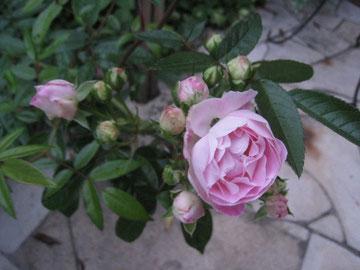 バラが咲き始めました。つぼみがいっぱい。楽しみです。