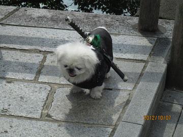 京都の嵐山で出会った侍犬。