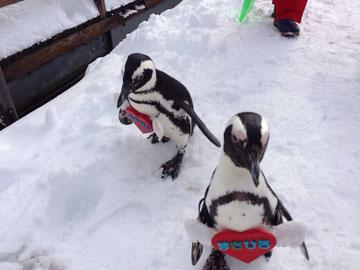 スキー場でペンギンがお散歩。
