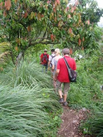 Touristen in einem Hain mit Kakaobäumen