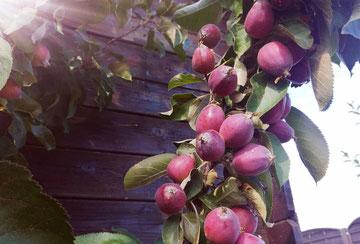Äpfel in Landmuttis Garten