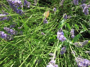 Lavendel aus Rodemacks mittelalterlichen Garten