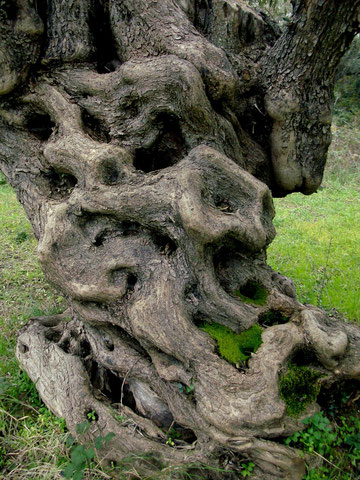 alter olivenbaum, amfissa, griechenland