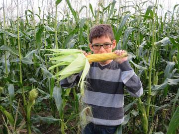 Le maïs doux est mûr