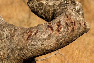 Kratzspuren am Baum von einem Löwen - unmittelbar neben einem Rastplatz gesehen.