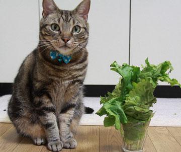 レタスを食べる猫