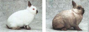 Conejos enanos de color - coniglio nani - Netherland dwarf