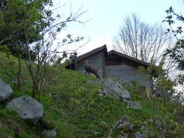 Gämse, Holzflüelihütte, Zustieg Grosser Mythen Westwand Abendsonne, Hampeissiweg