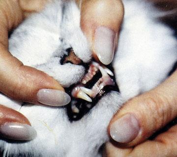 Gebiss einer Katze, Perserkatze mit korrektem Gebiss, Foto: privat
