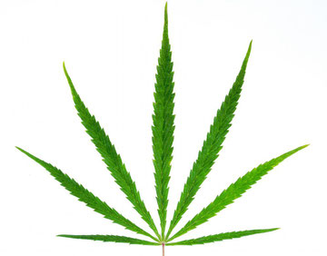 cannabis sativa blatt