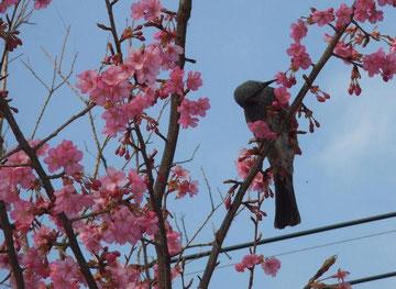 桜をついばむムクドリ