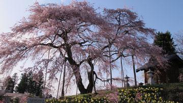 福島県玉川村 金比羅桜