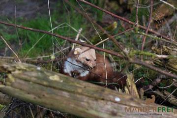 Marder auf Wiese vor dem Haus im Unterholz niedlich Natur