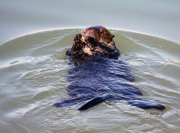 A male sea otter in Moss Landing prepares to eat an invasive exotic green crab. Lilian Carswell/USFWS