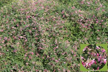 お寺の境内にある萩の花が見事に咲いていた。