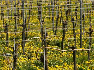Blühende Blumen im Weinberg