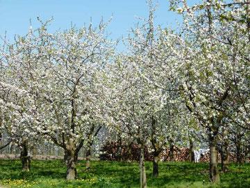Traumhaft schöne blühende Kirschbäume
