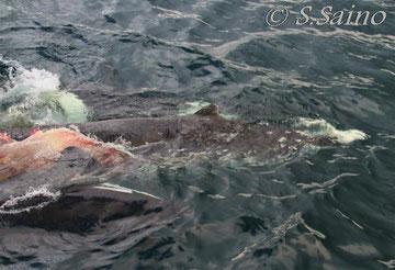獲物は若いツチクジラ、腹部を引き裂かれ内臓と尾ビレは既に失われている