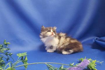 マンチカン子猫の激安販売【関東・埼玉】ブリーダーから直接お迎えで、安心・安い!