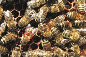 Milben auf den Bienen