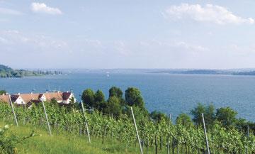 Hier wächst der leckere Wein vom Bodensee