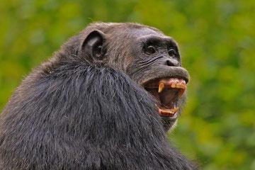 Am Gebiss kann man erkennen, dass Schimpansen keine reinen Vegetarier sind.