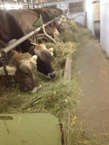 Stall fütterung hat begonnen nach einem nassen Herbst