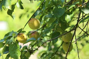 土助梅園 梅の実