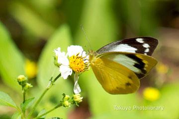 ナミエシロチョウ♀ 沖縄の昆虫