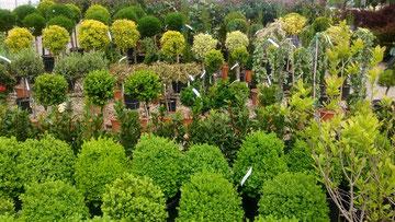 Самшиты в садовом центре (на первом плане)
