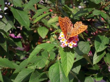 ランタナで吸蜜中のミドリヒョウモン♂(2015年9月23日、自宅庭)