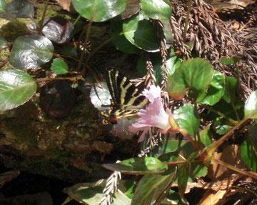 イワウチワに頭を突っ込んで吸蜜するギフチョウ。※以前「イワカガミ」と記していたのは「イワウチワ」の誤りでした。