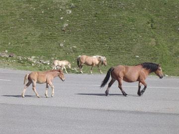 chevaux en liberté, andorre