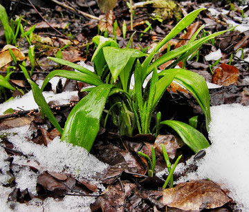 Bärlauch - Ende März 2013 - noch teilweise vom Schnee bedeckt