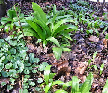 auf diesem Bild sieht man schön die Verbreitung von der Mutterpflanze ausgehend, die bereits einen Horst ausbildet