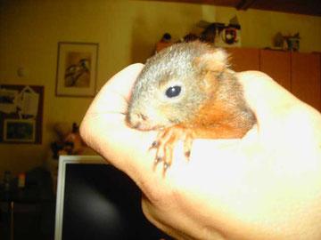 Eichhörnchenbaby