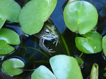 カエルです。