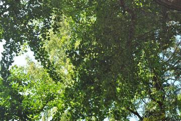 イチョウの大木です。