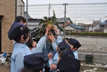 桜島大根です。